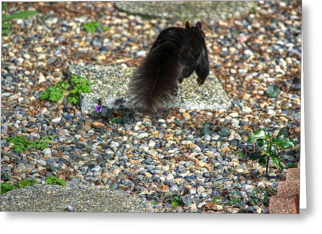 North Vancouver Digital Greeting Cards - Run for your life black squirrel Greeting Card by Eti Reid