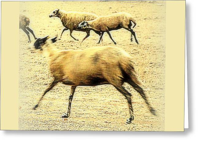 Running Even Faster Than The Other Sheep  Greeting Card by Hilde Widerberg