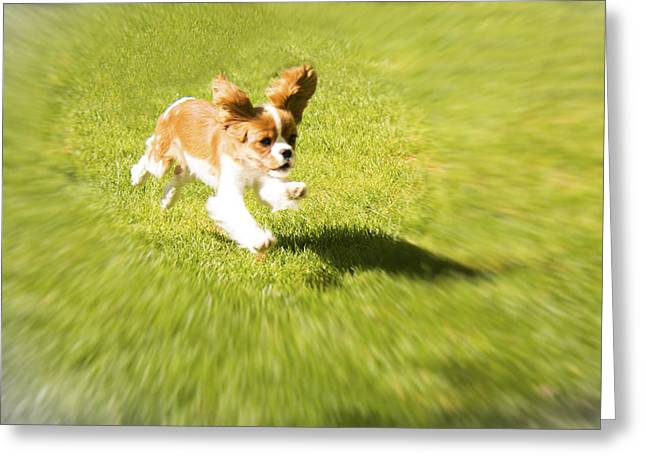 Spaniel Greeting Cards - Run Puppy Run Greeting Card by Daphne Sampson