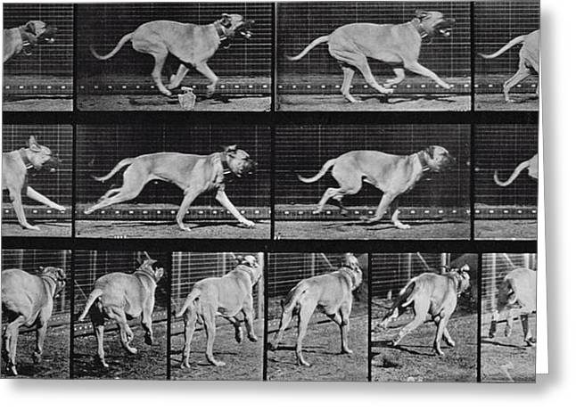 Running Dog Greeting Card by Eadweard Muybridge