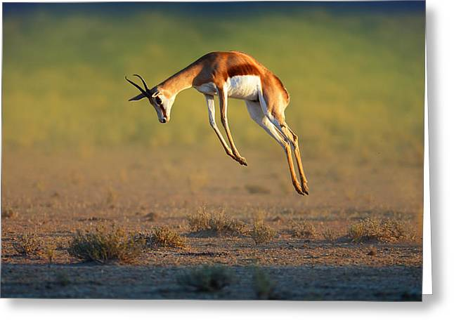 Outdoor Images Greeting Cards - Running Springbok jumping high Greeting Card by Johan Swanepoel