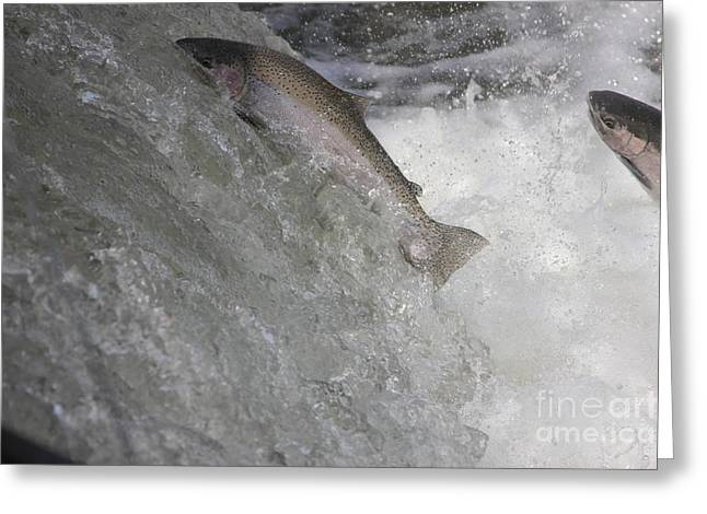 Leaping Trout Greeting Cards - Running the Rapids Greeting Card by Paul Hurtubise