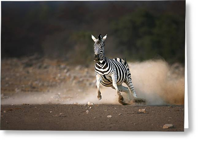 Fleeing Greeting Cards - Running Zebra Greeting Card by Johan Swanepoel