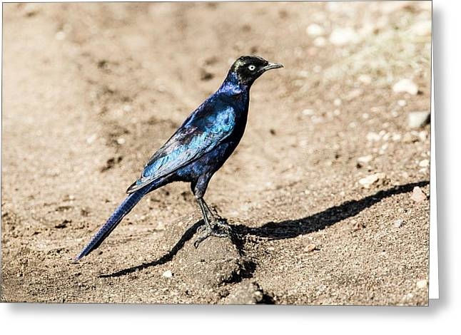 Ruppell's Glossy-starling Greeting Card by Photostock-israel