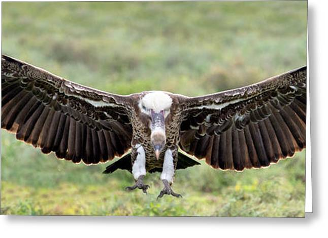 Ruppells Griffon Vulture Gyps Greeting Card by Panoramic Images
