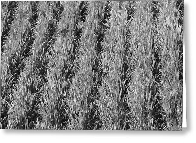 Cornfield Greeting Cards - Rural America Black And White Greeting Card by Dan Sproul