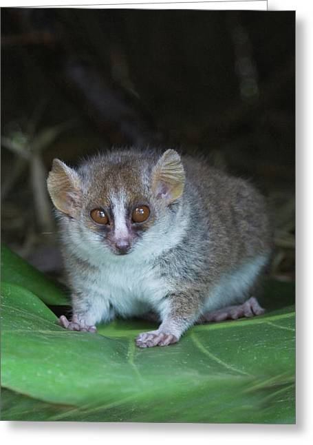 Russet Mouse Lemur (microcebus Rufus Greeting Card by Keren Su