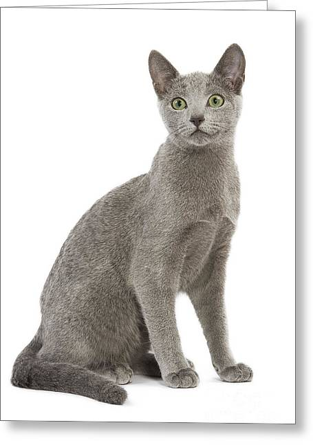 Gray Hair Greeting Cards - Russian Blue Cat Greeting Card by Jean-Michel Labat