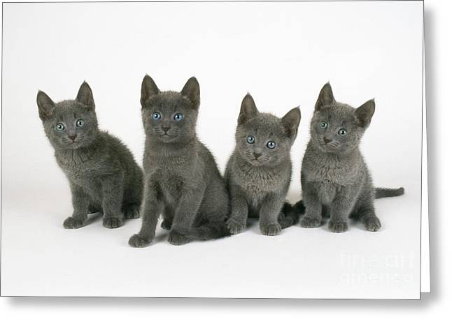 Breeds Greeting Cards - Russian Blue Kittens Greeting Card by John Daniels