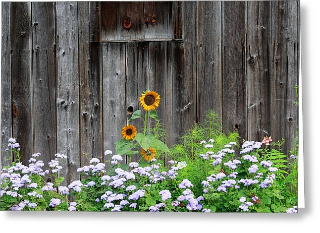 Barns Greeting Cards - Rustic Barnwood Sunflower Greeting Card by Bill  Wakeley