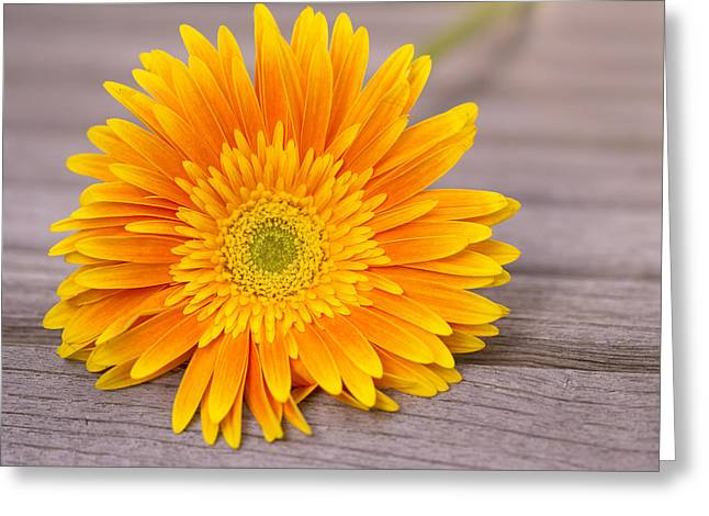 Table Greeting Cards - Rustic Gerber Daisy Greeting Card by Daphne Sampson