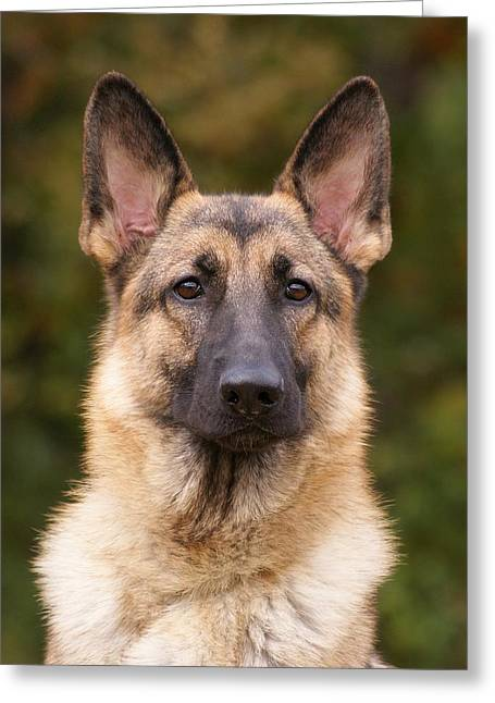 Dog Photographs Greeting Cards - Sable German Shepherd Dog Greeting Card by Sandy Keeton