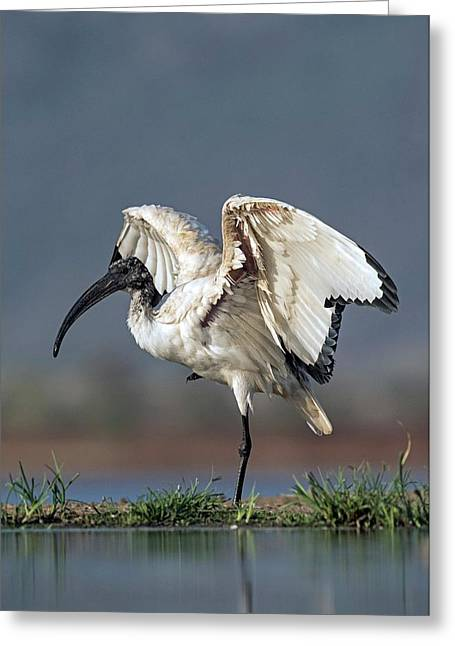 Sacred Ibis Stretching Its Wings Greeting Card by Tony Camacho