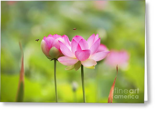 Sacred Greeting Cards - Sacred Lotus Greeting Card by Bill  Robinson