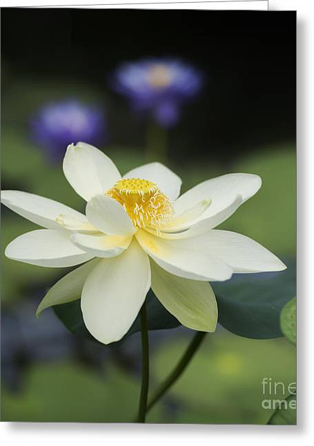 Stamen Greeting Cards - Sacred Lotus  Greeting Card by Tim Gainey