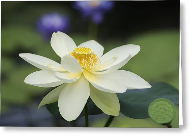 Flower Anthers Greeting Cards - Sacred Lotus  Greeting Card by Tim Gainey