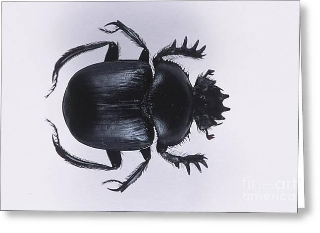 Scarab Greeting Cards - Sacred Scarab Beetle Greeting Card by Barbara Strnadova