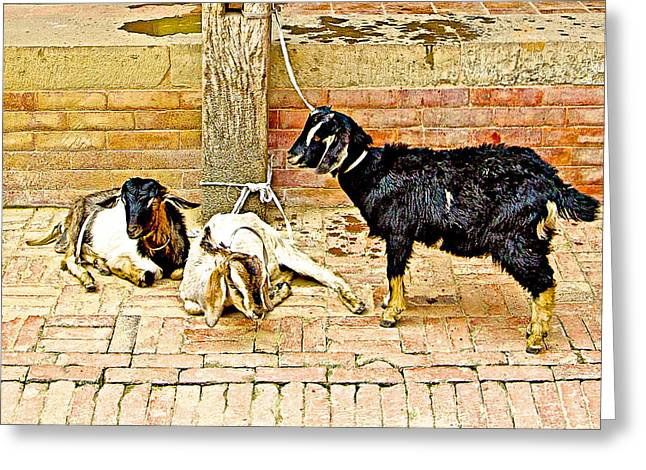 Sacrificial Art Greeting Cards - Sacrificial Goats in a Hindu Temple in Patan Durbar Square in Lalitpur-Nepal  Greeting Card by Ruth Hager