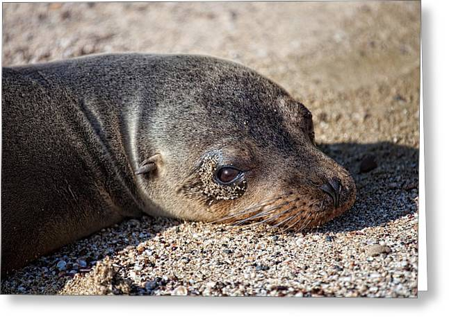 Sea Lions Greeting Cards - Sad Sea Lion Greeting Card by Timothy Hacker