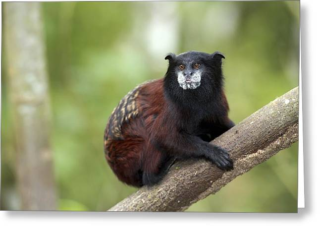 Saddleback Greeting Cards - Saddle-back tamarin Greeting Card by Science Photo Library