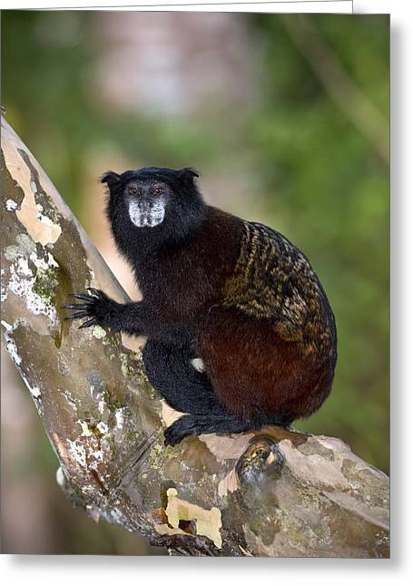 Saddleback Greeting Cards - Saddle-backed tamarin Greeting Card by Science Photo Library