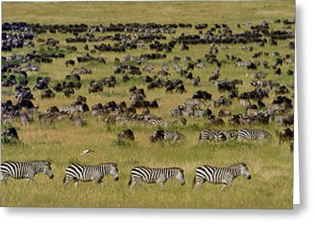 Safari Animals Migration, Serengeti Greeting Card by Panoramic Images
