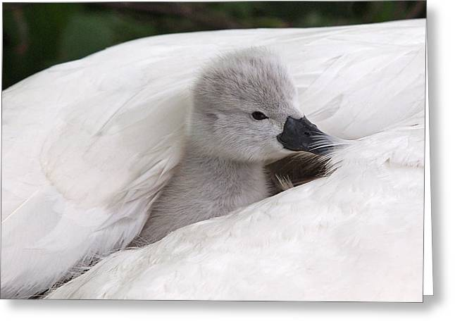 Nestled With Love Greeting Cards - Safe And Warm Greeting Card by Gill Billington