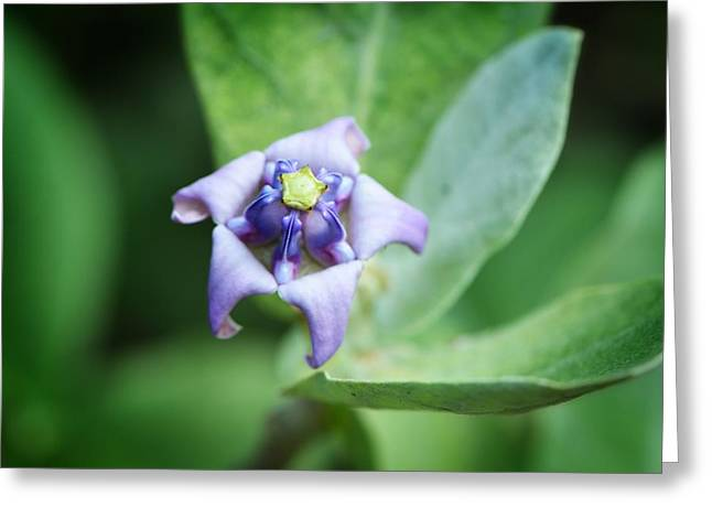 Kitchen Photos Greeting Cards - Botanical Art Print - Star of The Garden - By Sharon Cummings Greeting Card by Sharon Cummings