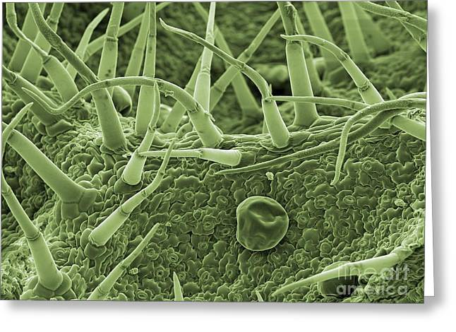 Biological Greeting Cards - Sage Leaf Trichomes, Sem Greeting Card by Peter Bond, Electron Microscope Centre, University of Plymouth