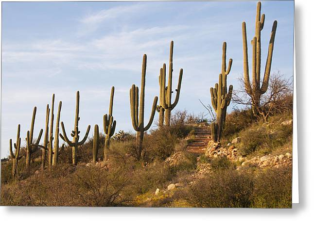 Catalina Mountains Greeting Cards - Saguaro Cactus at Sunset Greeting Card by Elvira Butler
