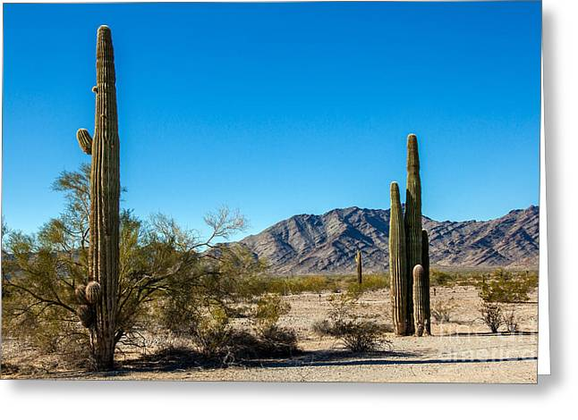 Picturesqueness Greeting Cards - Saguaro Cactus In The Sonoran Desert Greeting Card by Robert Bales