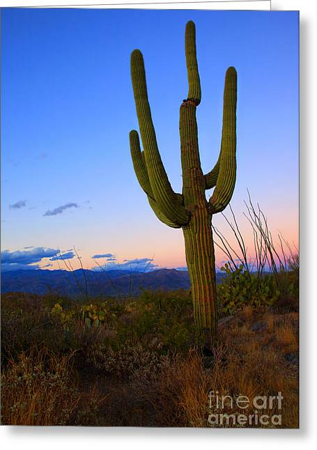 Rincon Greeting Cards - Saguaro Dusk Greeting Card by Mike  Dawson