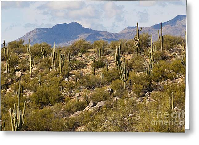 Catalina Mountains Greeting Cards - Saguaro Forest  Carnegica Gigantea Greeting Card by Ellen Thane