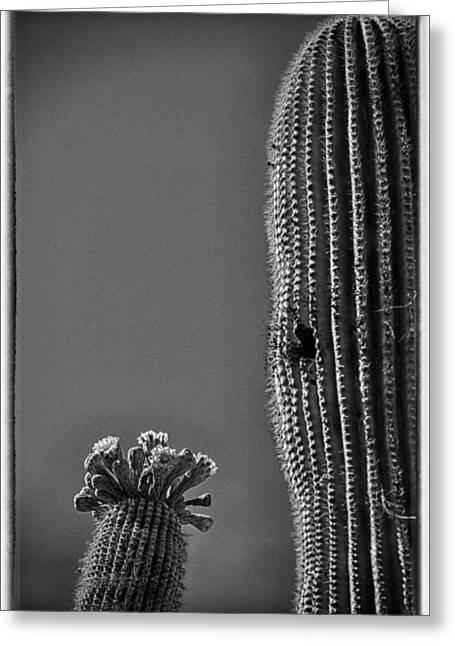 Saguaro In Bloom - V1 Greeting Card by Judi FitzPatrick