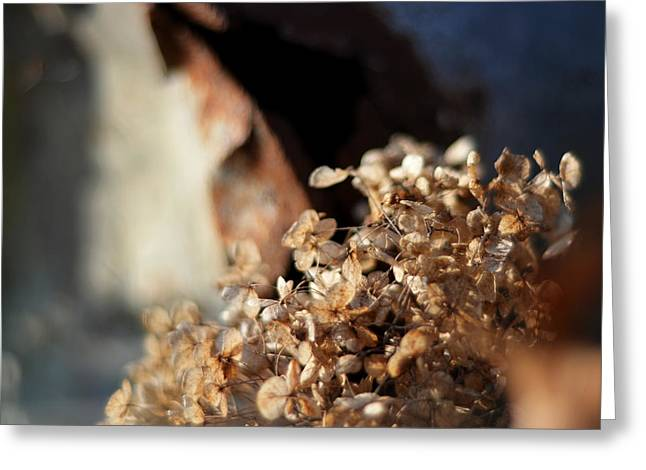 Dried Hydrangeas Greeting Cards - Said the Sunbeam to the Shade Greeting Card by Rebecca Sherman