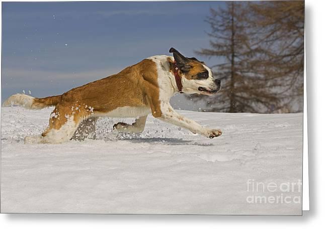 Dog In Snow Greeting Cards - Saint Bernard Greeting Card by Jean-Michel Labat