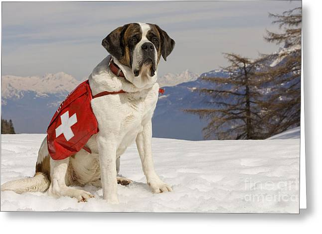 Working Dog Greeting Cards - Saint Bernard Rescue Dog Greeting Card by Jean-Michel Labat