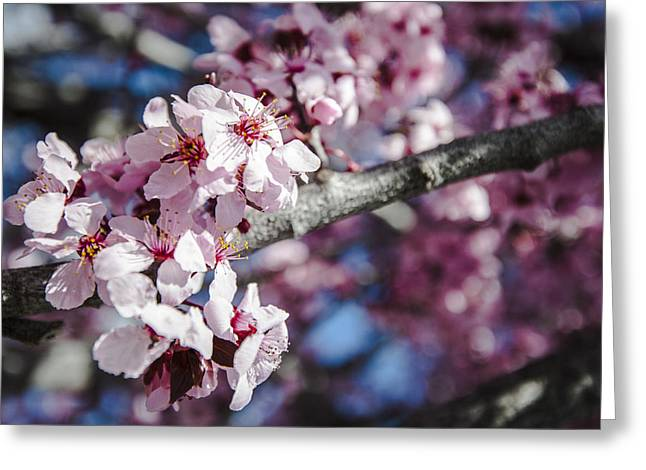 Prescott Greeting Cards - Sakura Blossoms Greeting Card by Anthony Citro