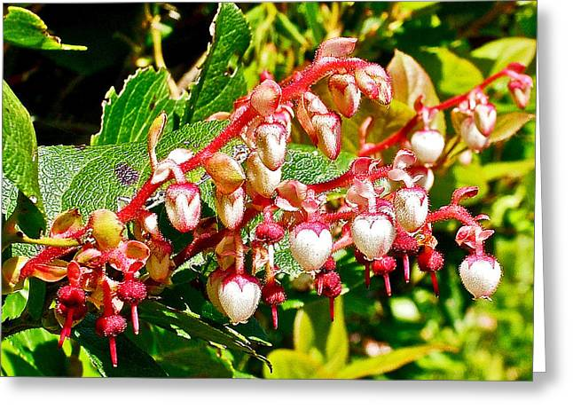 State Parks In Oregon Greeting Cards - Salal in Cape Meares State Park-Oregon  Greeting Card by Ruth Hager