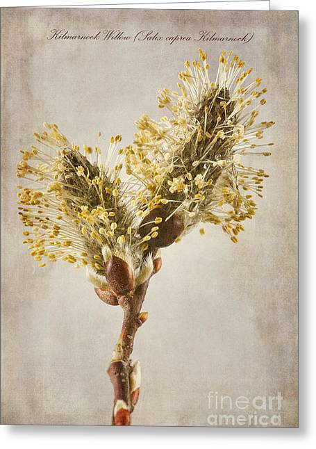 Meadow Willows Greeting Cards - Salix caprea Kilmarnock Catkins Greeting Card by John Edwards