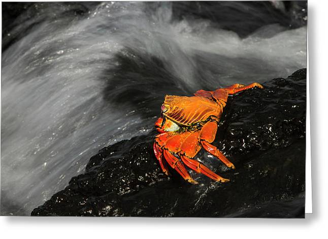 Sally Lightfoot Crab (grapsus Grapsus Greeting Card by Pete Oxford