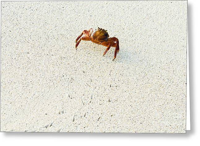 Malacostraca Greeting Cards - Sally Lightfoot Crab Greeting Card by William H. Mullins