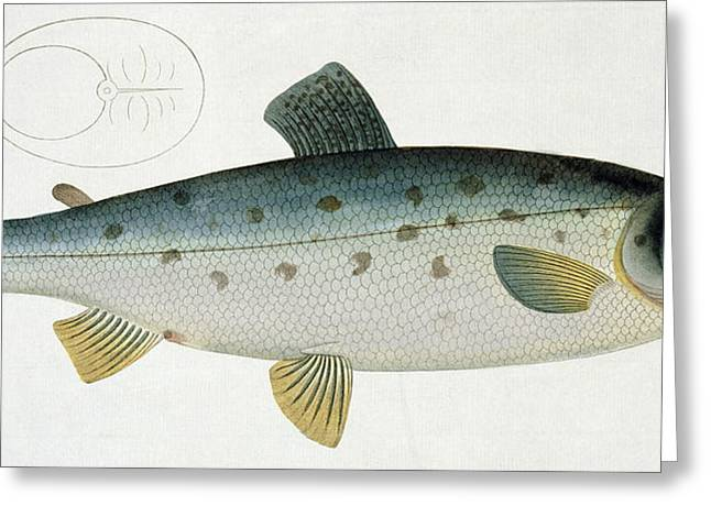Hunting Drawings Greeting Cards - Salmon Greeting Card by Andreas Ludwig Kruger