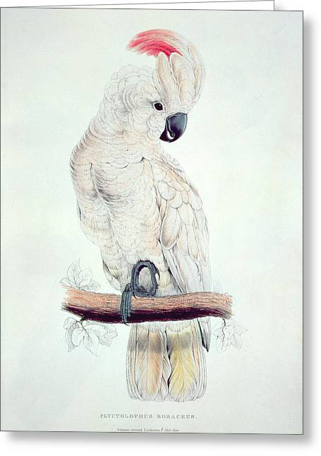Edward Lear Greeting Cards - Salmon Crested Cockatoo Greeting Card by Edward Lear