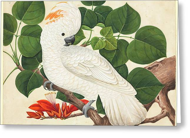 Salmon-crested Cockatoo Greeting Card by Natural History Museum, London
