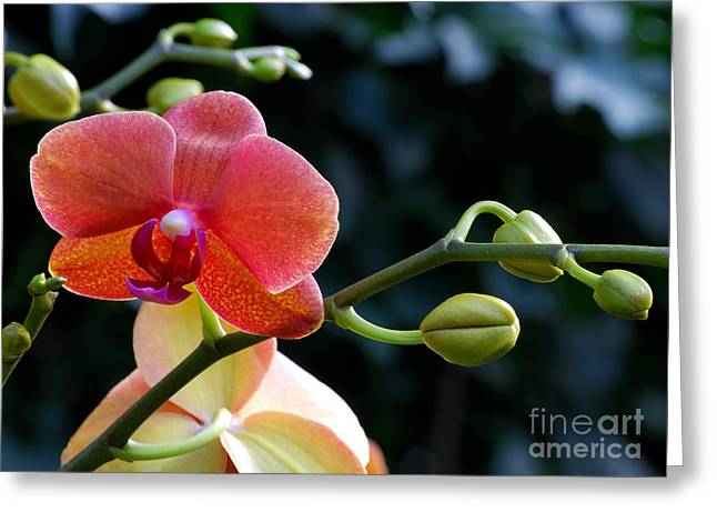 Salmon Pink Greeting Cards - Salmon Pink Orchid and Buds Greeting Card by Nancy Mueller