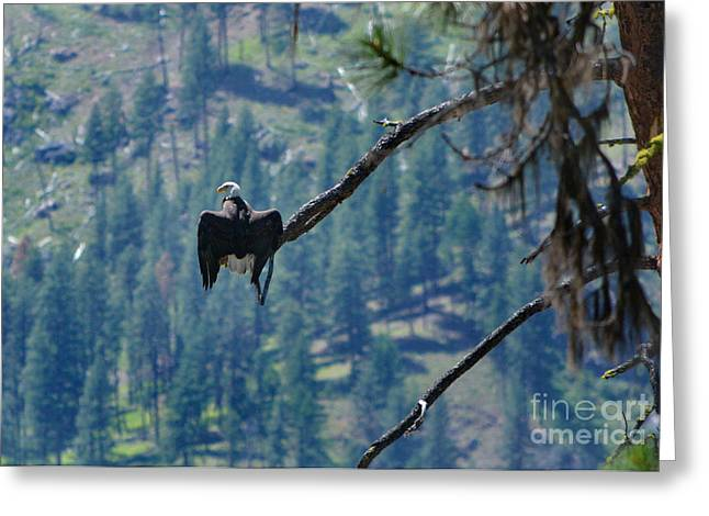 Frank Church River Of No Return Greeting Cards - Salmon River Eagle Greeting Card by Kevin Felts