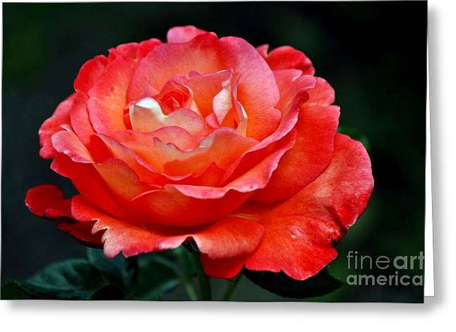 Garden Greeting Cards - Salmon Rose Greeting Card by Mandy Judson