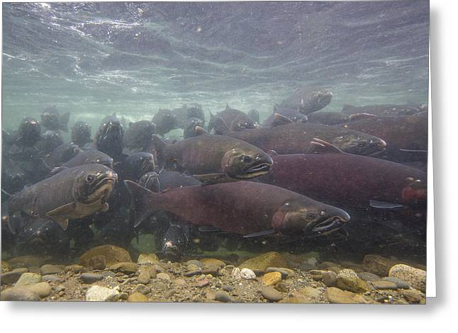 Coho Salmon Greeting Cards - Salmon School is in Session Greeting Card by Tim Grams