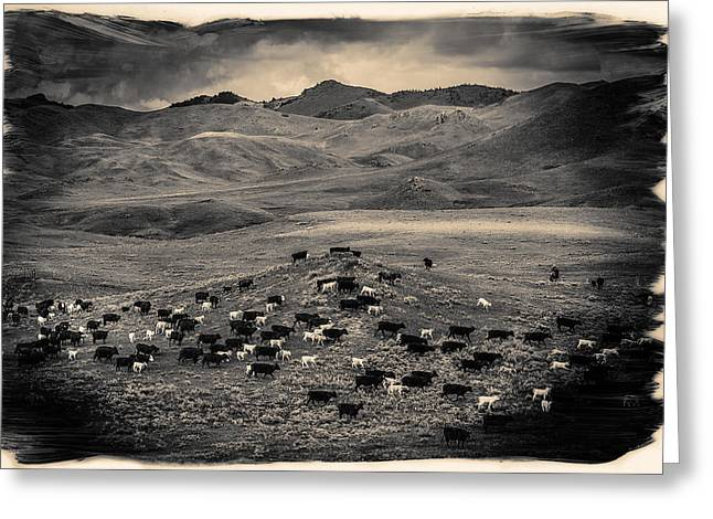 Cattle Drive Photographs Greeting Cards - Salt and Pepper Pasture Greeting Card by Todd Klassy
